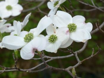 Flowering Spring Understory Natives