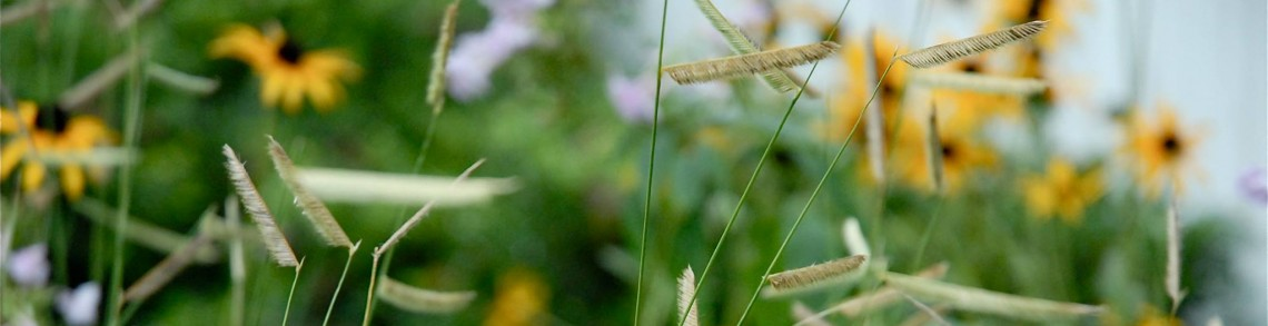 Blue grama grass (Bouteloua gracilis). Photo courtesy of: The Meadow Project