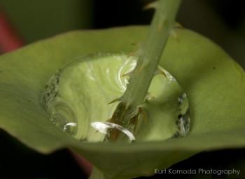 Mile-a-minute (Polygonum perfoliatum). Photo courtesy of Kurt Komoda/flickr