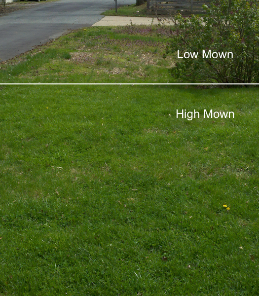 Close-up comparison between a high-mow lawn and a low-mow lawn.