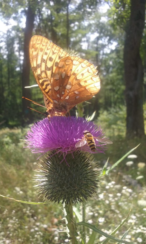 Butterfly and bee on purple bull thistle